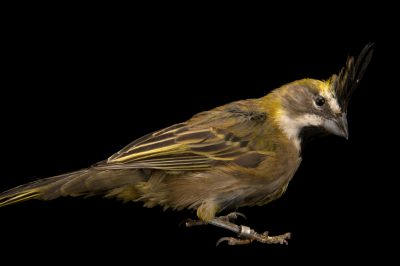 Photo: An endangered female yellow cardinal (Gubernatrix cristata) in Choussy, France.