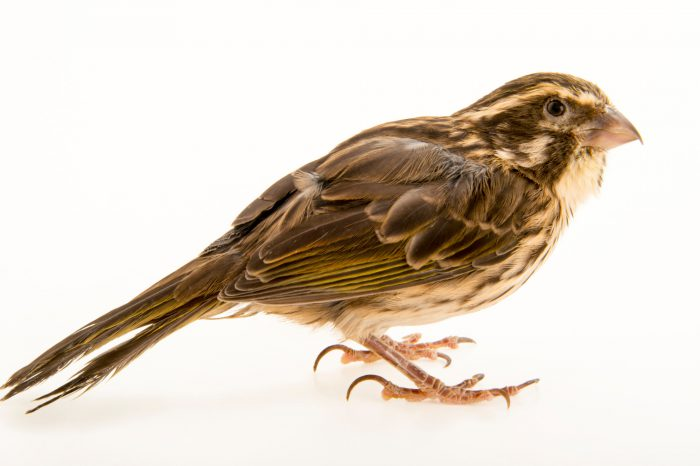 Photo: Streaky seedeater (Crithagra striolatus) in Choussy, France.