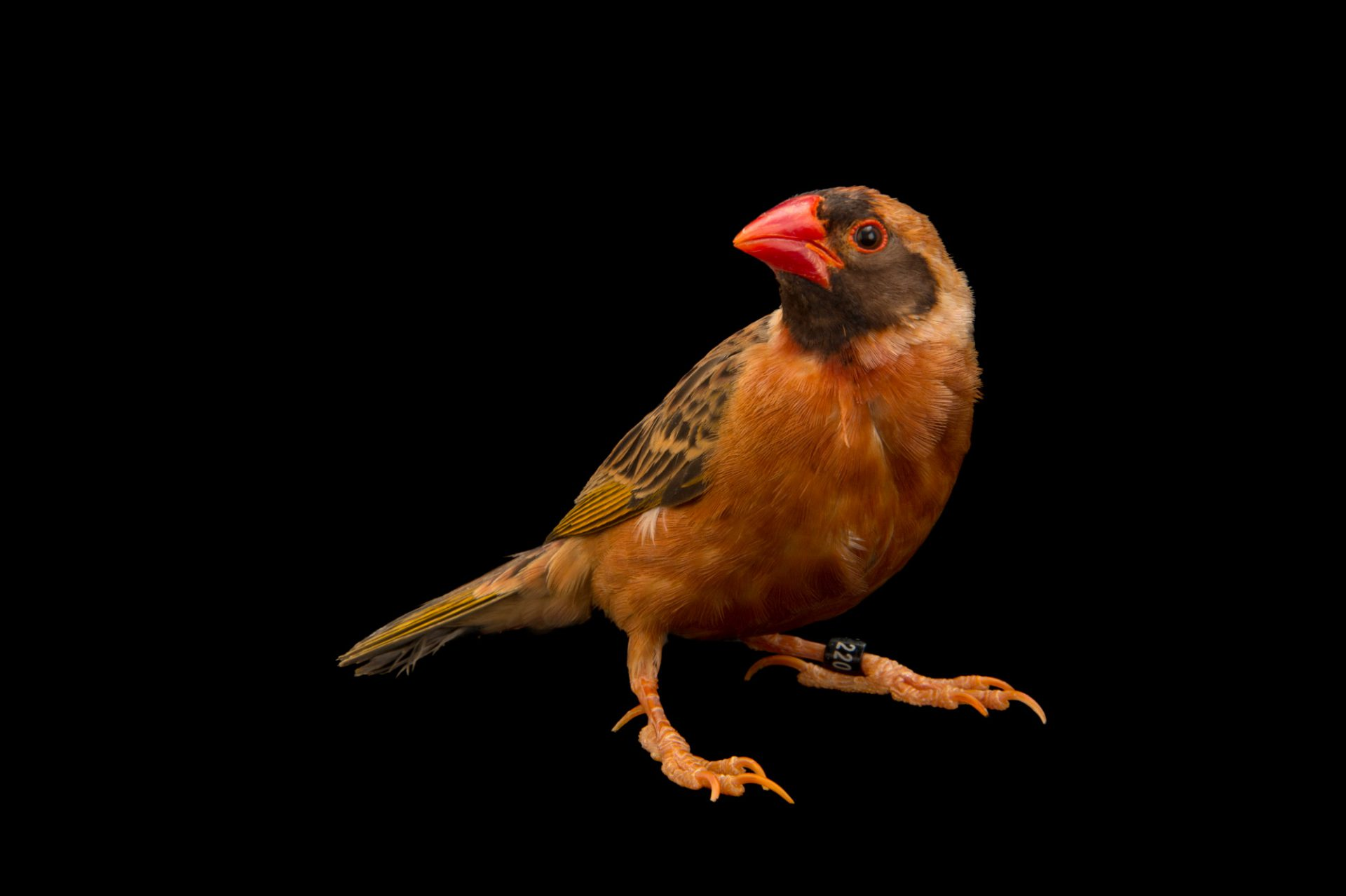 Photo: Red-billed quelea (Quelea quelea) in Choussy, France.