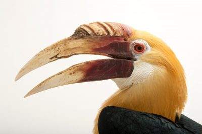 Papuan hornbill (Rhyticeros plicatus mendanae) from the Soloman Islands. Photographed in Choussy, France.