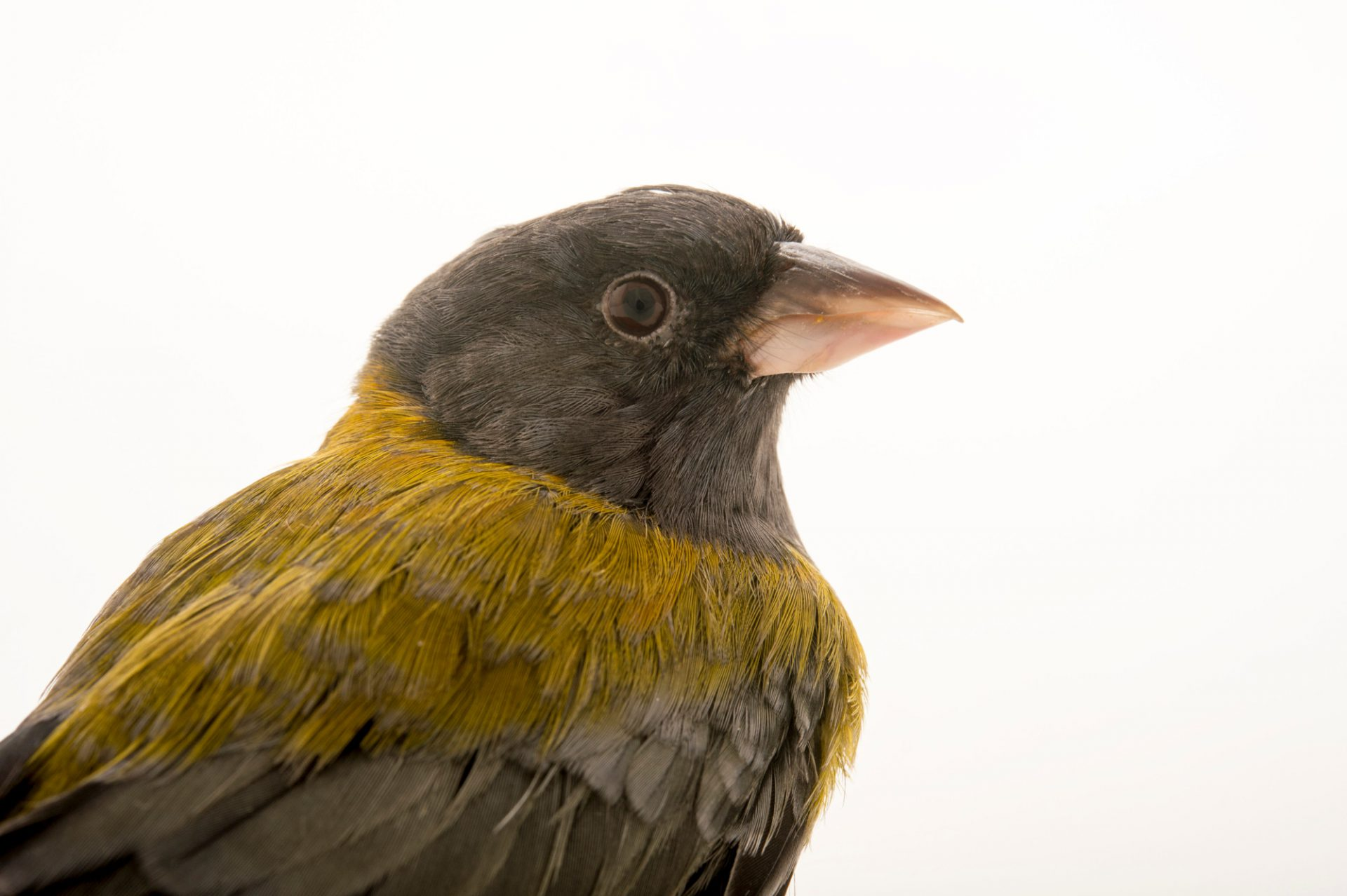 Photo: Patagonian sierra finch (Phrygilus patagonicus) in Choussy, France.