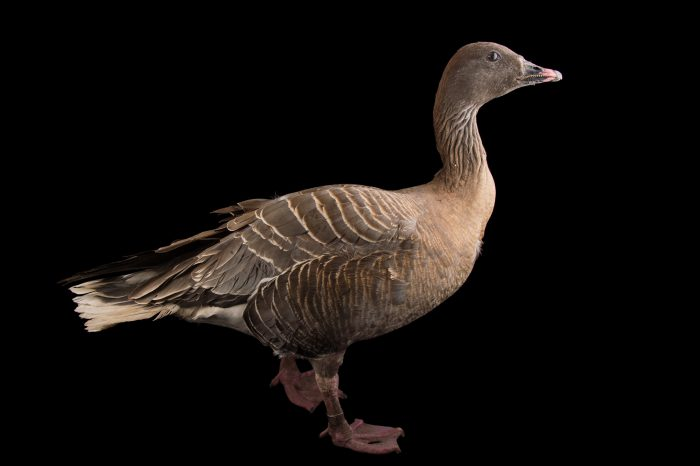 Picture of a male pink-footed goose, Anser brachyrhynchus, at Sylvan Heights Bird Park.