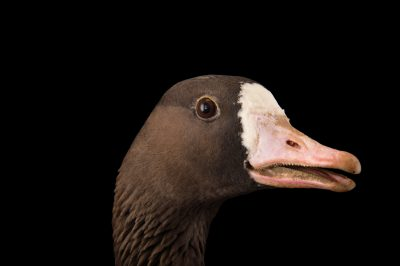 Picture of a tule goose, Anser albifrons elgasi, at Sylvan Heights Bird Park.