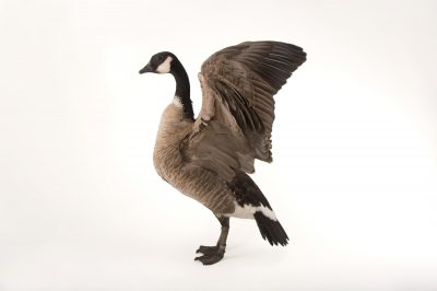 Picture of Richardson's cackling goose, Branta hutchinsii hutchinsii, at Sylvan Heights Bird Park.