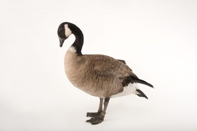 Picture of a Richardson's cackling goose, Branta hutchinsii hutchinsii, at Sylvan Heights Bird Park.