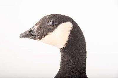 Picture of a small cackling goose, Branta hutchinsii minima, at Sylvan Heights Bird Park.