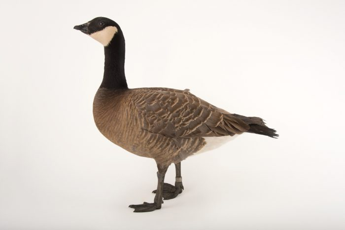 Picture of a small cackling goose, Branta hutchinsii minima, at Sylvan Heights Bird Park.