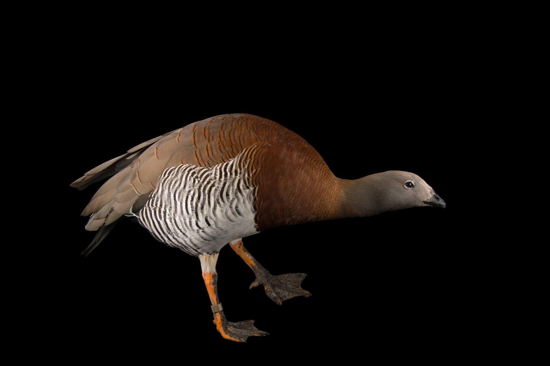 Picture of a male ashy-headed goose, Chloephaga poliocephala, at Sylvan Heights Bird Park.