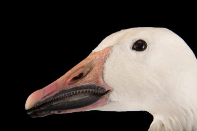 Picture of a female greater snow goose, Chen caerulescens atlanticus, at Sylvan Heights Bird Park.