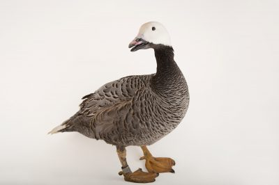 Picture of an emperor goose, Chen canagica, at Sylvan Heights Bird Park.