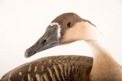 Picture of a vulnerable male swan goose, Anser cygnoides, at Sylvan Heights Bird Park.