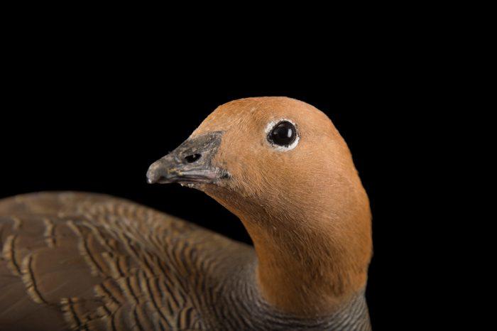 Picture of a female ruddy-headed goose, Chloephaga rubidiceps, at Sylvan Heights Bird Park.