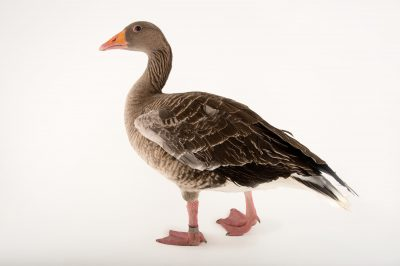 Picture of a female greylag goose, Anser anser, at Sylvan Heights Bird Park.