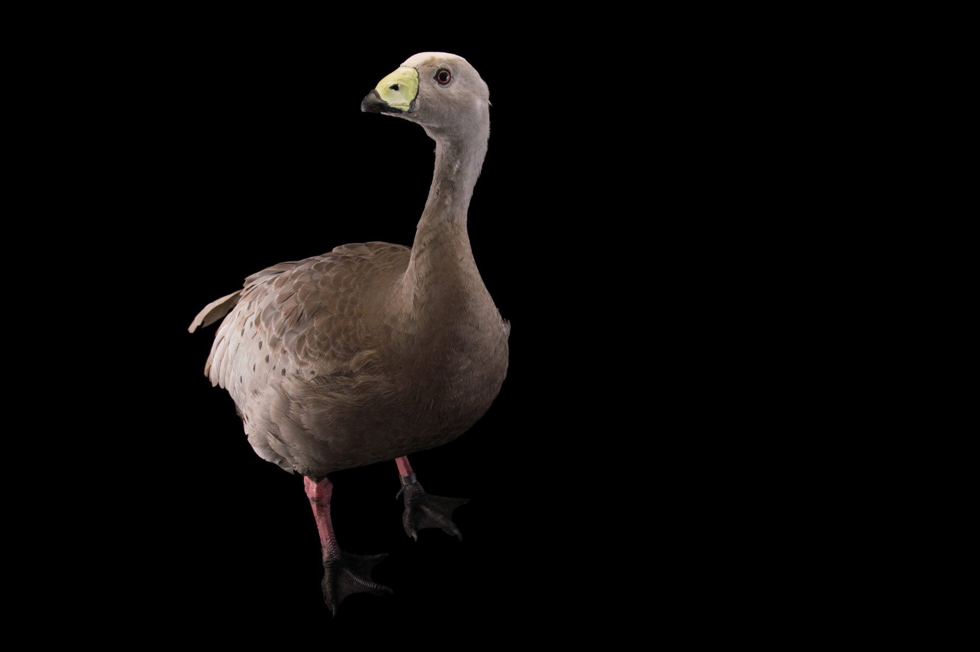 Picture of a female Cape barren goose, Cereopsis novaehollandiae, at Sylvan Heights Bird Park.