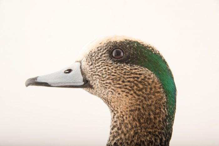 Picture of a male American wigeon (Anas americana) at Sylvan Heights Bird Park.