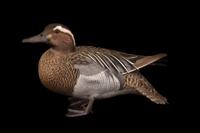 Picture of a garganey teal (Anas querquedula) at Sylvan Heights Bird Park.