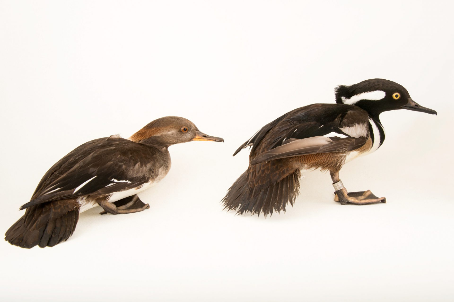 Picture of a hooded mergansers (Mergus cucullatus) at Sylvan Heights Bird Park.