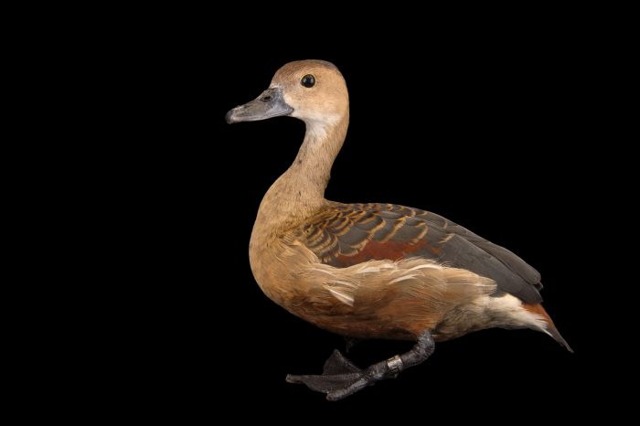 Picture of a female lesser whistling duck (Dendrocygna javanica) at Sylvan Heights Bird Park.