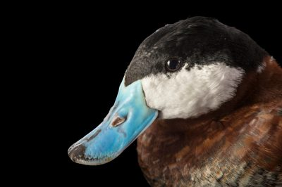Picture of a North American ruddy duck (Oxyura jamaicensis) at Sylvan Heights Bird Park.
