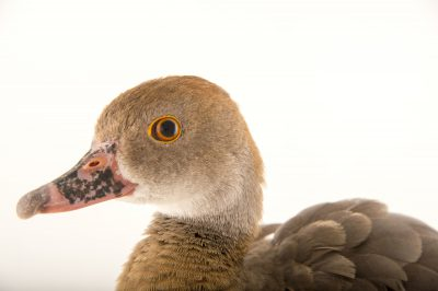 Picture of a female plumed whistling duck (Dendrocygna eytoni) at Sylvan Heights Bird Park.