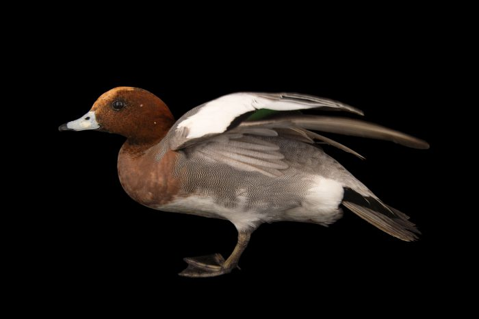 Picture of a Eurasian wigeon (Anas penelope) at Sylvan Heights Bird Park.