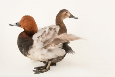 Picture of common pochard ducks (Aythya ferina) at Sylvan Heights Bird Park.