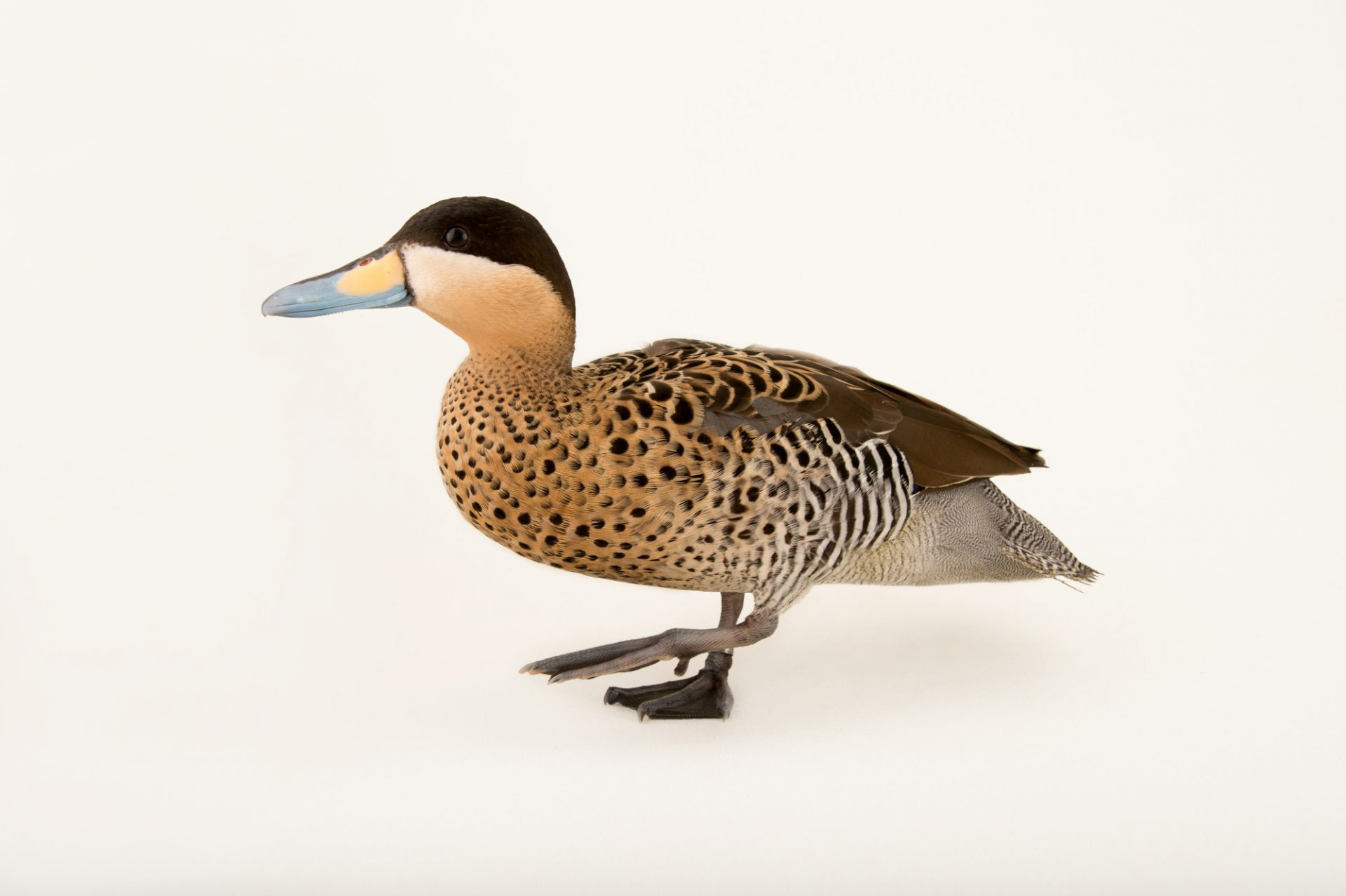 Picture of a male silver teal (Anas versicolor) at Sylvan Heights Bird Park.