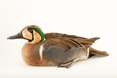 Picture of a baikal teal (Anas formosa) at Sylvan Heights Bird Park.
