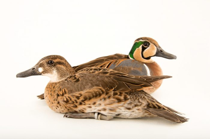 Picture of Baikal teal ducks (Anas formosa) at Sylvan Heights Bird Park.