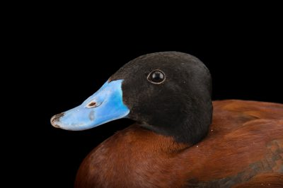Picture of a male Maccoa duck (Oxyura maccoa) at Sylvan Heights Bird Park.