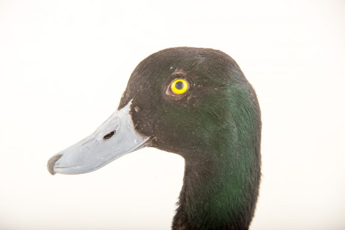 Picture of a male greater scaup (Aythya marila) at Sylvan Heights Bird Park.