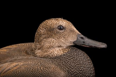 Picture of a male gadwall (Anas strepera) at Sylvan Heights Bird Park.