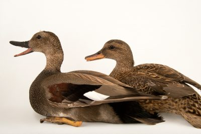 Picture of a male and female gadwall (Anas strepera) at Sylvan Heights Bird Park.