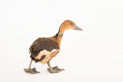 Picture of a fulvous whistling duck (Dendrocygna bicolor) at Sylvan Heights Bird Park.