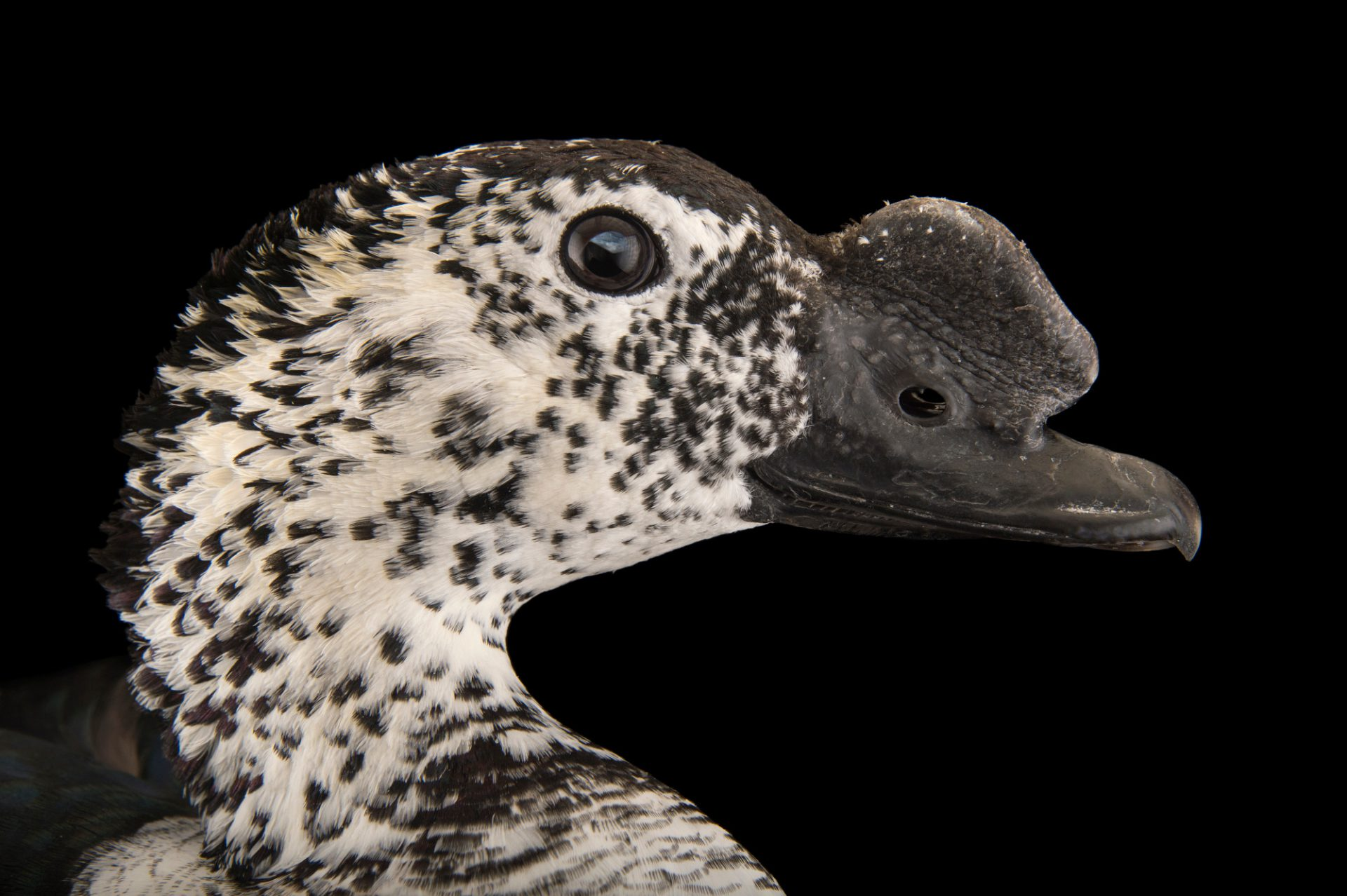 Picture of a South-American comb duck (Sarkidiornis sylvicola) at Sylvan Heights Bird Park.