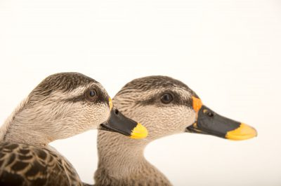 Picture of Indian spot-billed ducks (Anas poecilorhyncha poecilorhyncha) at Sylvan Heights Bird Park.