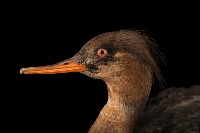 Picture of A red-breasted merganser (Mergus serrator) in non-breeding plumage at Sylvan Heights Bird Para.