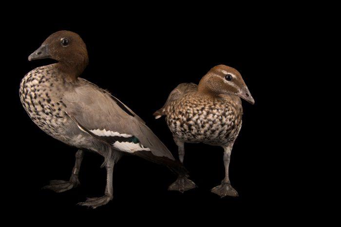 Picture of Australian wood ducks (Chenonetta jubata) at Sylvan Heights Bird Park.