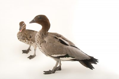 Picture of Australian wood ducks (Chenonetta jubata) at Sylvan Heights Bird Park.