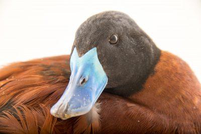 Picture of a lake duck (Oxyura vittata) at Sylvan Heights Bird Park.