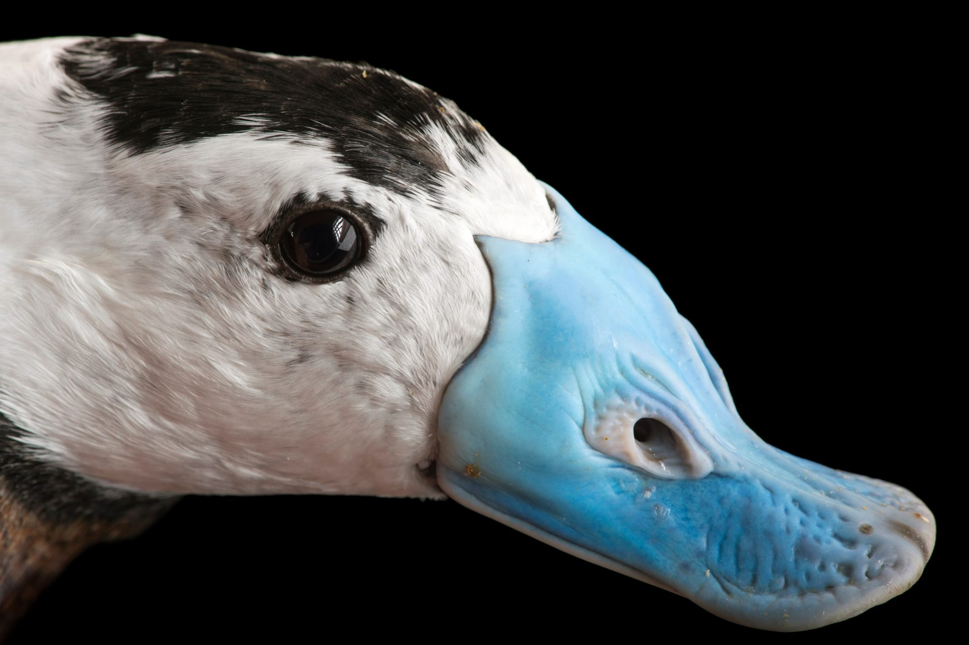 Picture of an endangered white-headed duck (Oxyura leucocephala) at Sylvan Heights Bird Park.