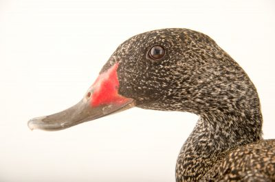 Picture of a freckled duck (Stictonetta naevosa) at Sylvan Heights Bird Park.