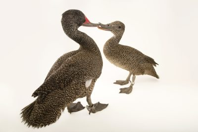 Picture of freckled ducks (Stictonetta naevosa) at Sylvan Heights Bird Park.