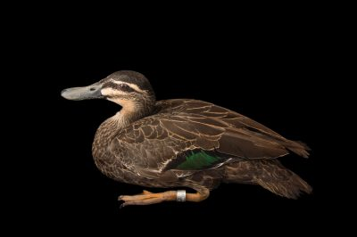 Picture of a Pacific black duck (Anas superciliosa) at Sylvan Heights Bird Park.
