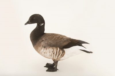 Picture of a pale-bellied brent goose (Branta bernicla hrota) at Sylvan Heights Bird Park.