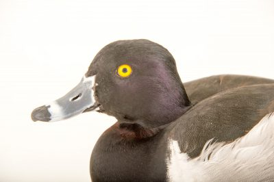 Picture of a ring-necked duck (Aythya collaris) at Sylvan Heights Bird Park.