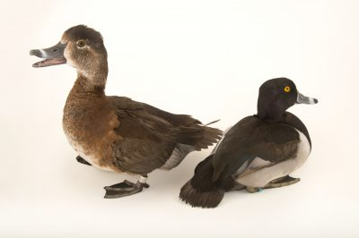 Picture of ring-necked ducks (Aythya collaris) at Sylvan Heights Bird Park.