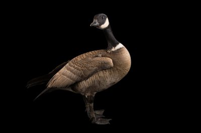 Picture of a male Aleutian cackling goose (Branta hutchinsii leucopareia) at Sylvan Heights Bird Park.