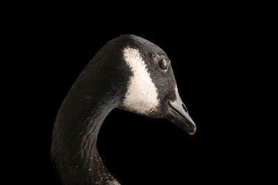 Picture of a male Richardson's cackling goose (Branta hutchinsii hutchinsii) at Sylvan Heights Bird Park.