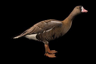 Picture of a vulnerable male lesser white-fronted goose (Anser erythropus) at Sylvan Heights Bird Park.
